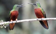A pair of Chestnut-breasted Coronet (Boissonneaua matthewsii) vividly discussing results from the last BGC seminar!
