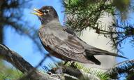 An American robin carrying a GPS unit as part of a study to understand how migratory birds are navigating increasingly dynamic landscapes at high northern latitudes. (Photo credit: Brian Weeks)